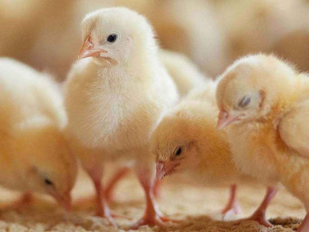 تولید جوجه یکروزه تخم گذار افزایش یافت
