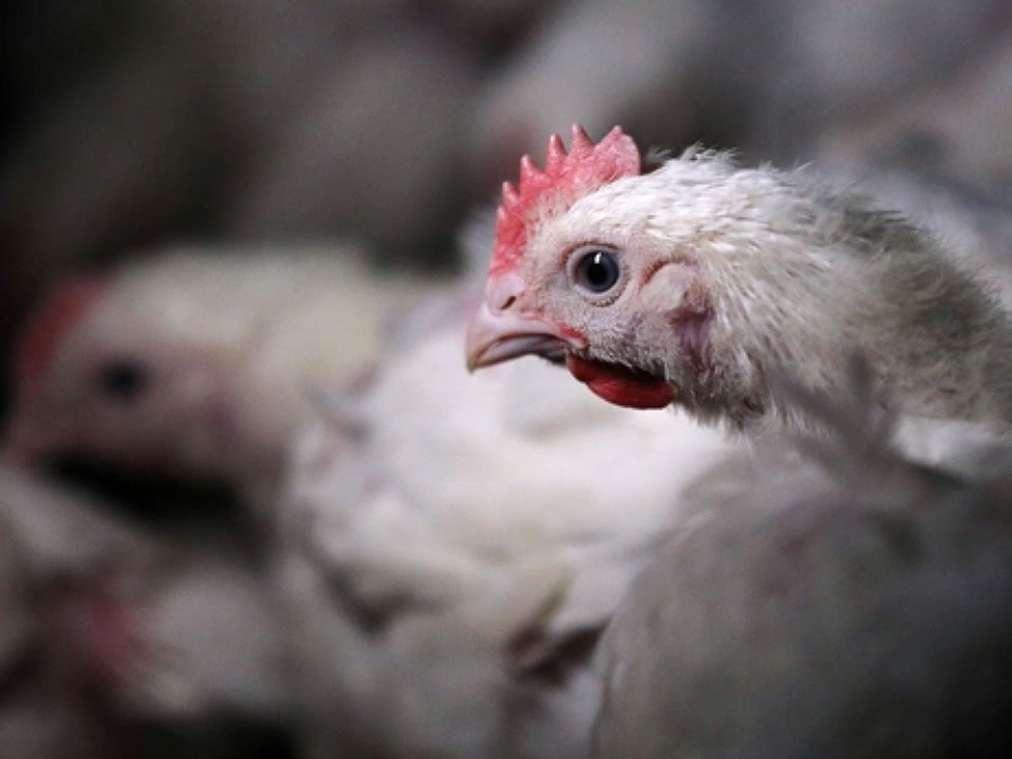 سونامی افزایش قیمت مرغ در راه است