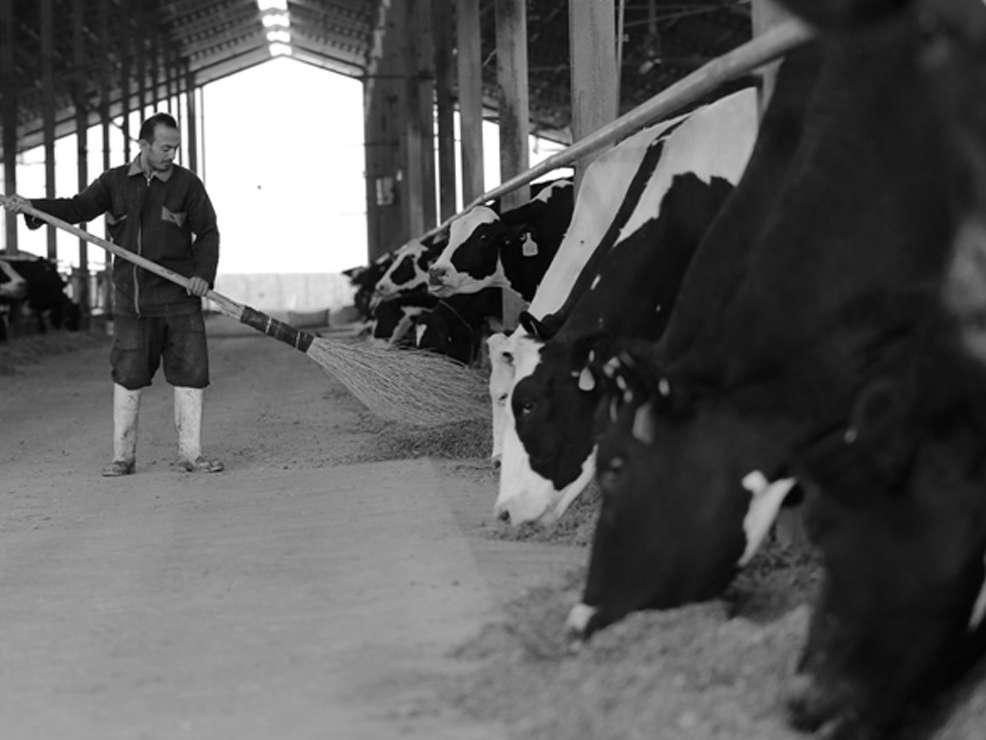 کشتار گاو آخرین گزینه دامداران