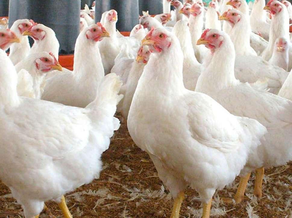 صنعت مرغداری جهان پس از کووید رو به بهبودی می رود