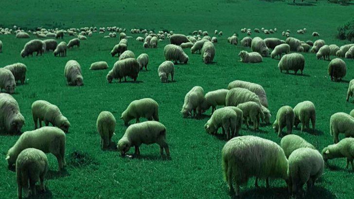 لایو شیپ مرکز خرید و فروش گوسفند زنده آنلاین