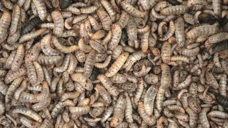 تأیید اروپا برای استفاده از برخی منابع پروتئینی در خوراک طیور
