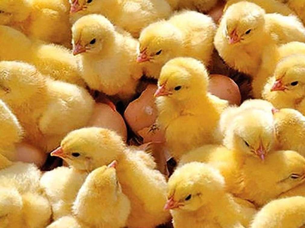 رشد 6 درصدی جوجهریزی در مرغداریهای کرمانشاه