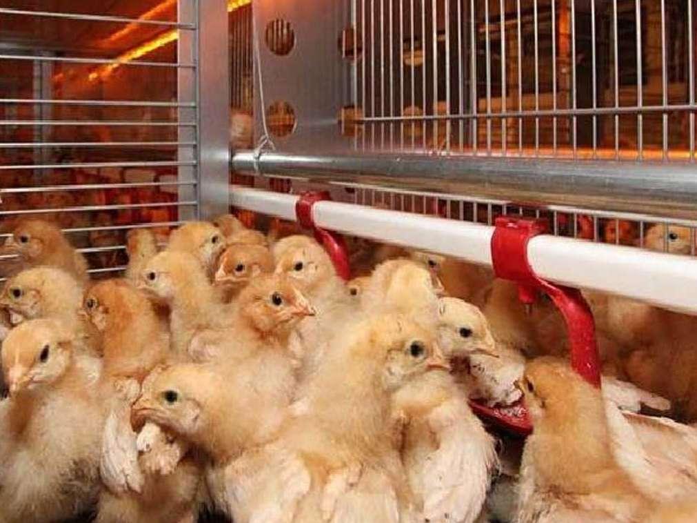 عامل اصلی گرانی تخم مرغ: کمبود جوجه یک روزه