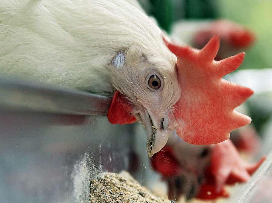 بررسی نقش ویتامین D3 در تغذیه مرغ مادر گوشتی