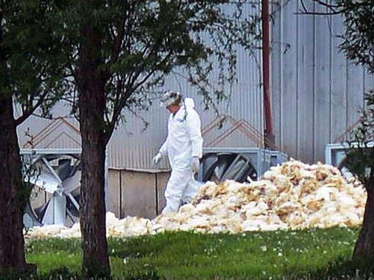 آنفلوآنزا بیش از 4 میلیون مرغ را در البرز از بین برد