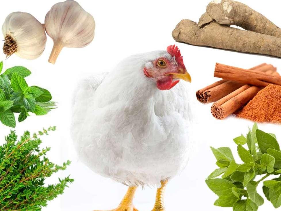 تأمین سلامت روده و بهبود عملکرد آن با استفاده از افزودنیهای گیاهی به خوراک طیور