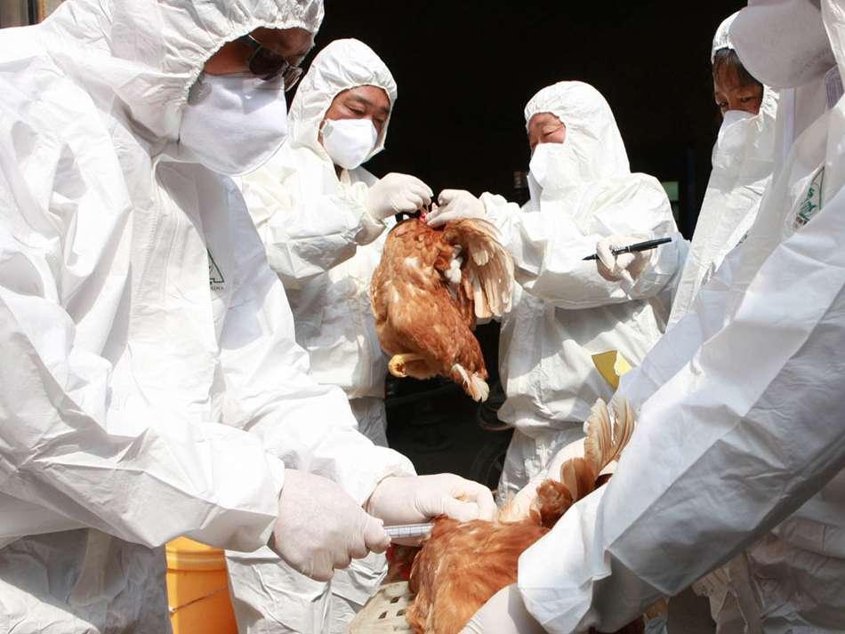 شیوع آنفلوانزای پرندگان در عربستان سعودی و تایوان تائید شد