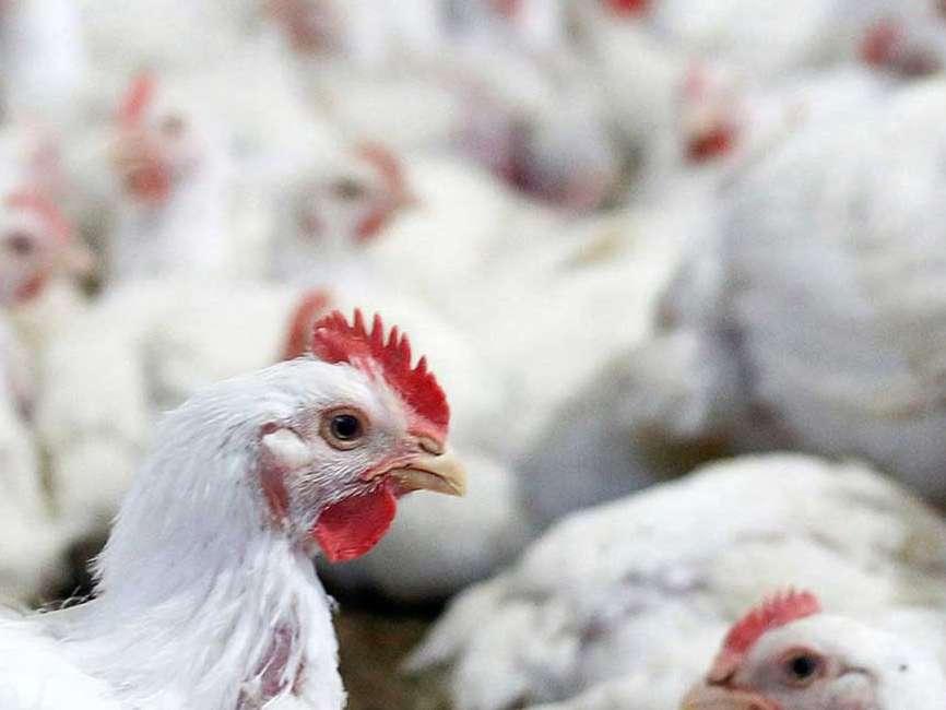 مرغداران گلپایگانی در آستانه ورشکستگی هستند