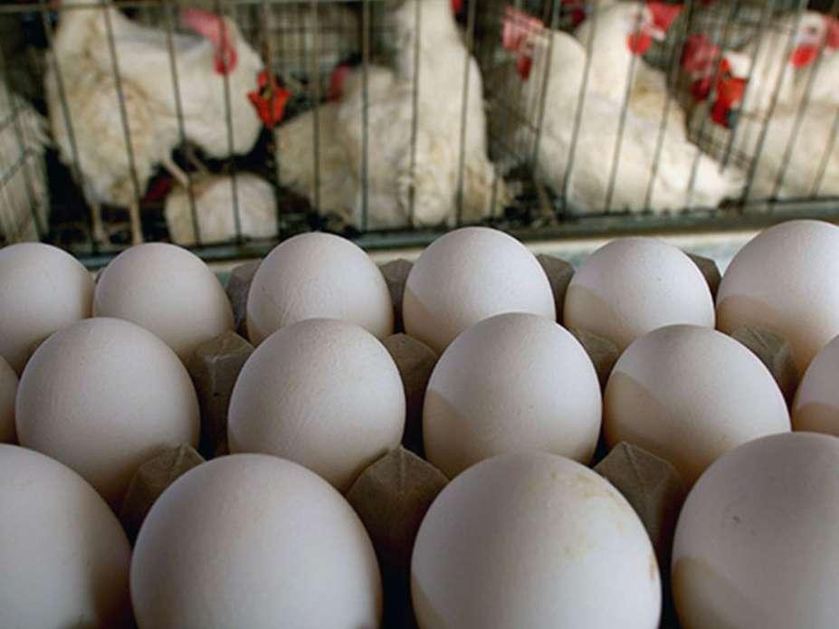 مجوز جدیدی برای تولید تخم مرغ و مرغ گوشتی صادر نمی شود