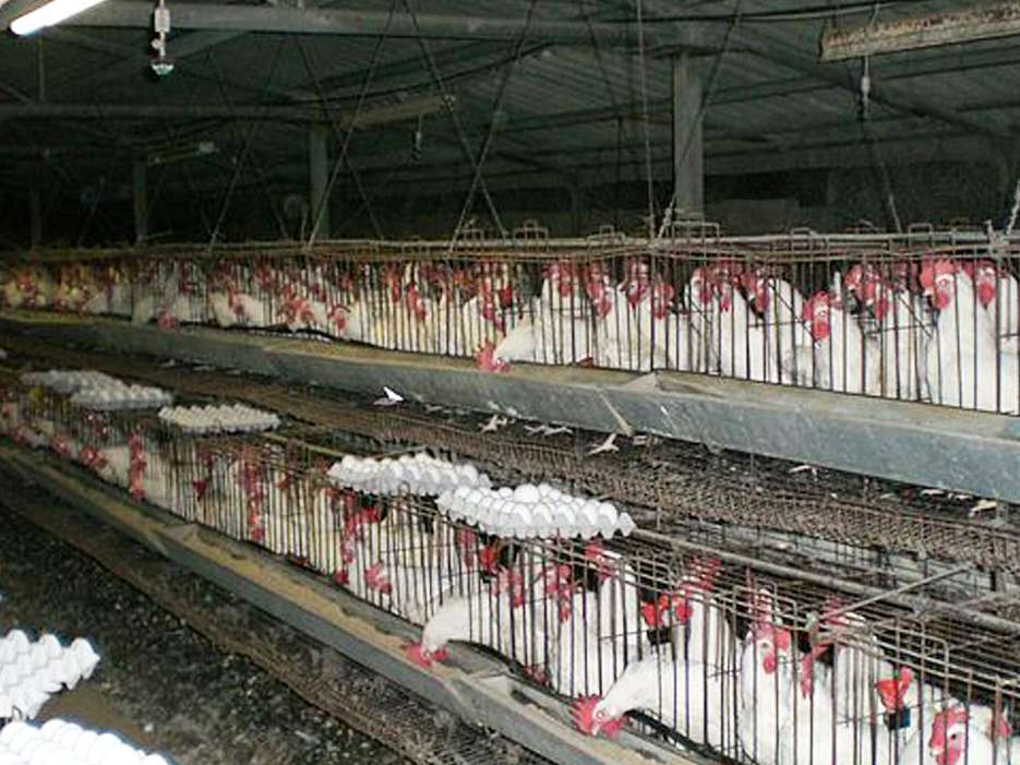 افزایش۳۵درصدی هزینه تولیدتخم مرغ