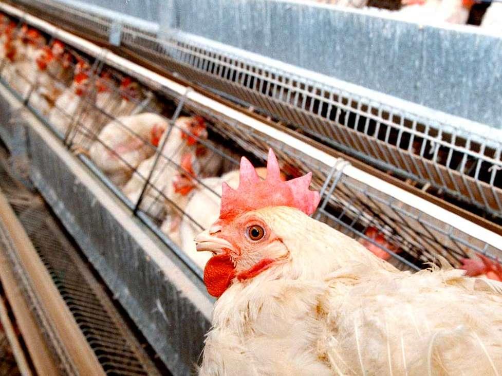 آغاز فعالیت مجدد واحدهای پرورش مرغ تخمگذار در آبیک