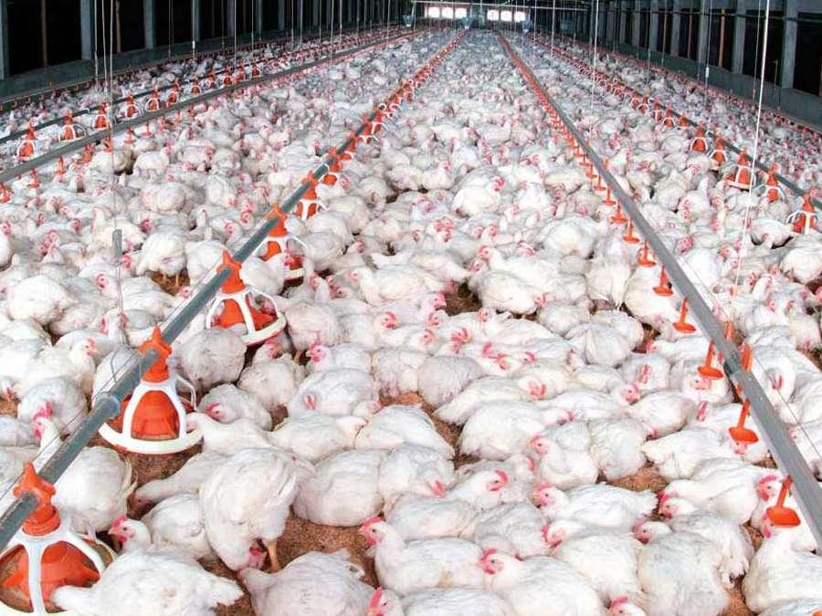 مرغ چاق روی دست تولیدکنندگان ماند