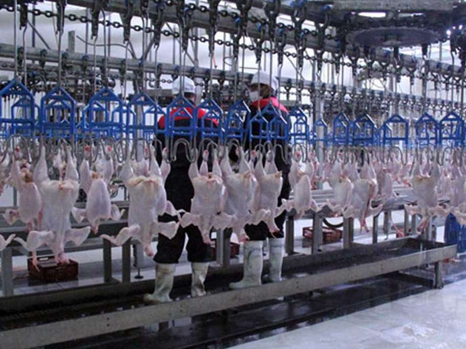 ۱۹ هزار تن گوشت سفید در واحدهای مرغی قزوین تولید شد