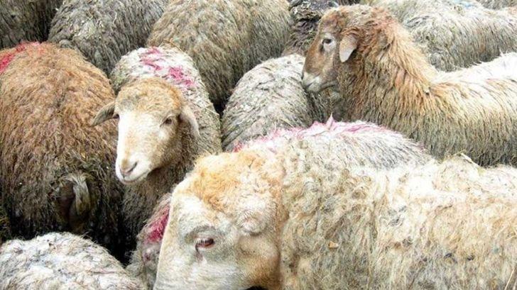 واردات دام زنده به جایی نرسید،کاهش ۵ هزار تومانی نرخ گوشت در بازار
