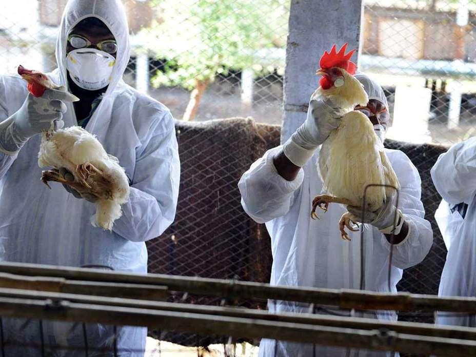 کاهش گزارشات شیوع انفولانزای مرغی