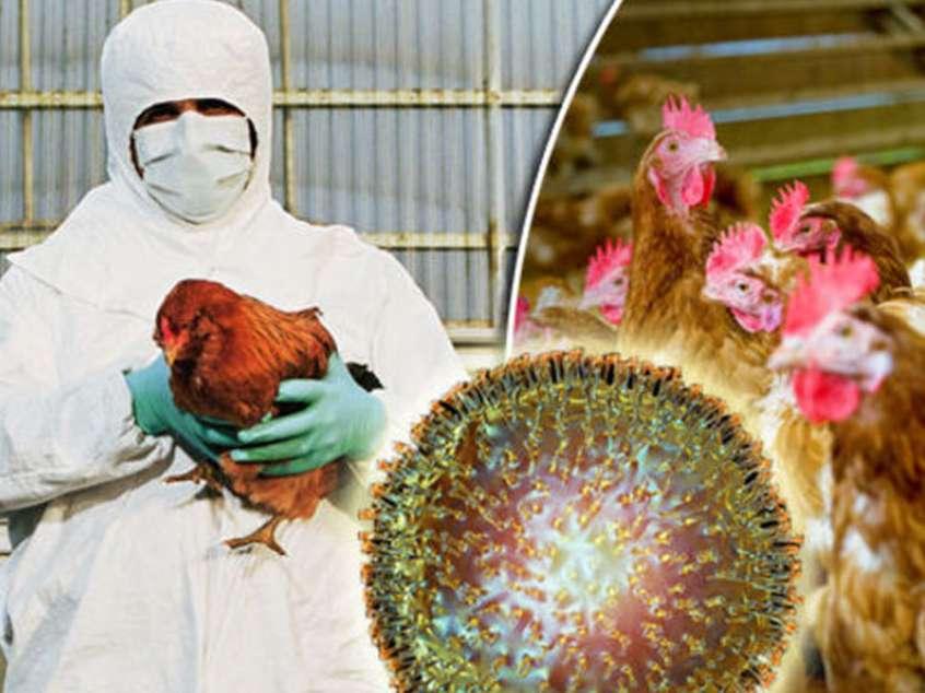 قطعی برق عامل شیوع آنفلوانزای پرندگان در مرغداریها
