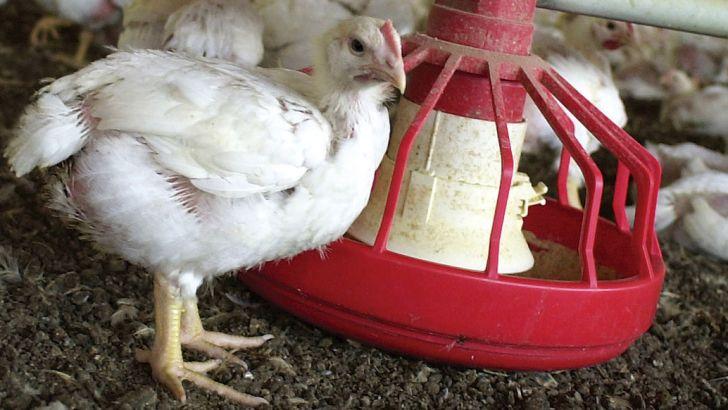 تولید ۴۰ درصد گوشت مرغ در زنجیره های طیور کشور