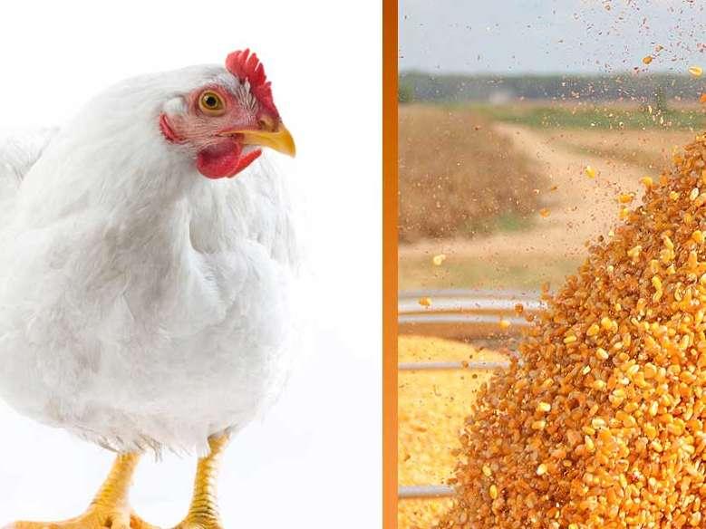 نصف ظرفیت صنایع تولیدکننده خوراک دام و طیور خالی است