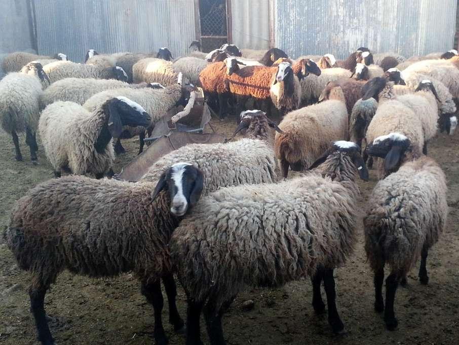 از قاچاق دام به عراق تا واردات گوشت از استرالیا