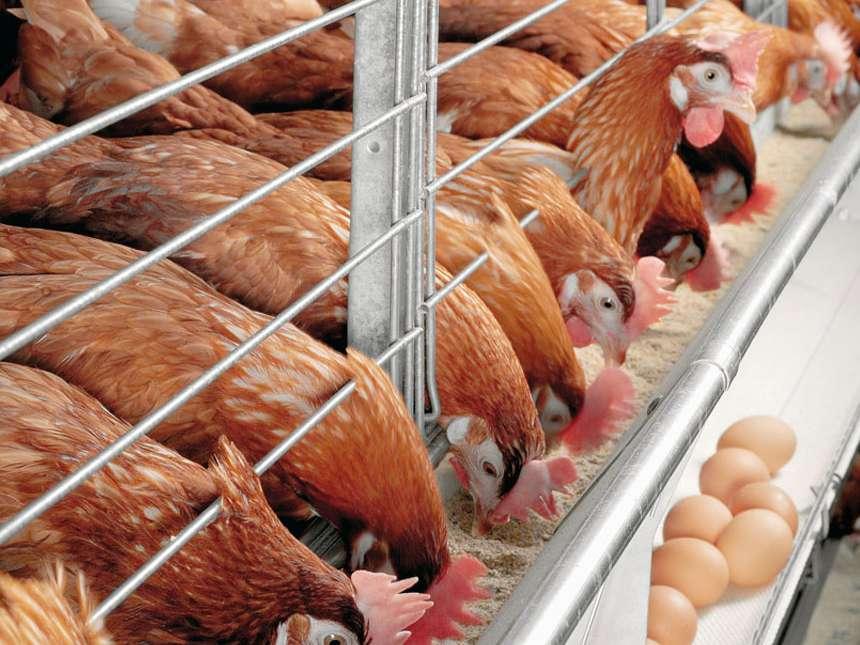 قیمت خرید تخم مرغ از مرغدار کاهش یافت