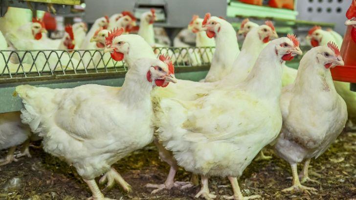 کاهش جوجه ریزی دلیل افزایش قیمت مرغ