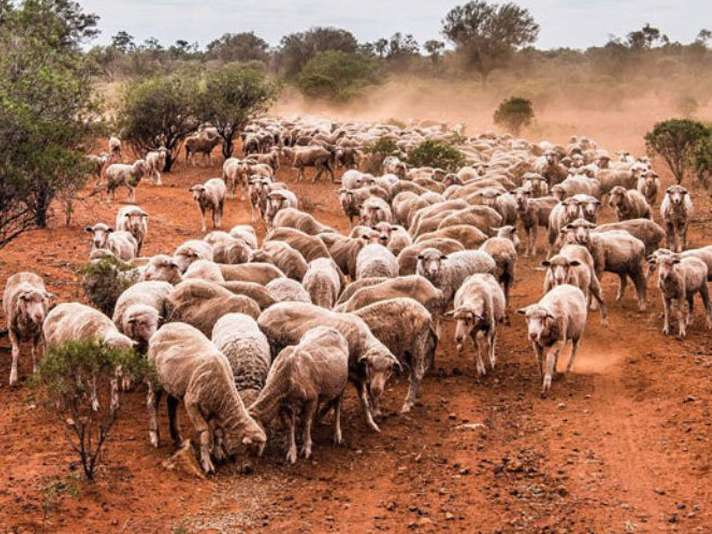 رشد  صادرات دام زنده عامل مهم افزایش قیمت گوشت