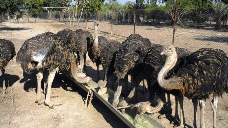 معضل نبود نقدینگی دامنگیر صنعت شترمرغ