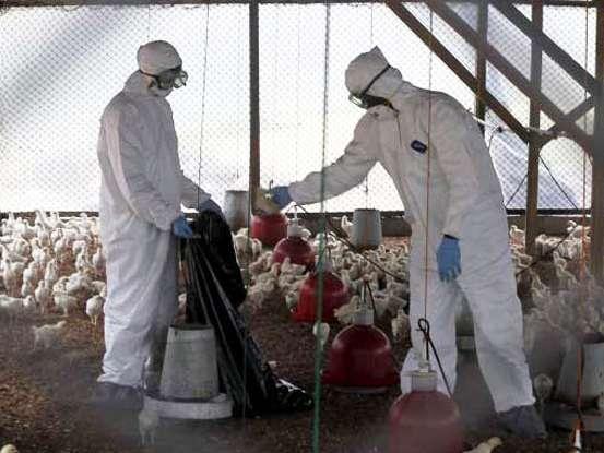 توقف آنفولانزای فوق حاد پرندگان در اصفهان