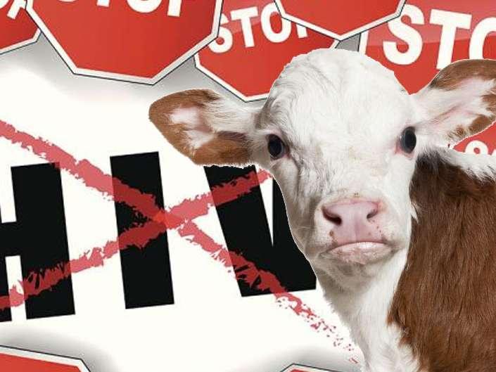چگونه گاوها در مبارزه با بیماری HIV به کمک انسان می آیند