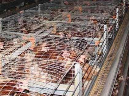 ۴۰ درصد فارم های مرغ تخمگذار فرسوده است