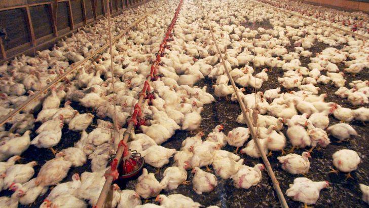 افزایش عرضه دلیل کاهش قیمت مرغ در بازار