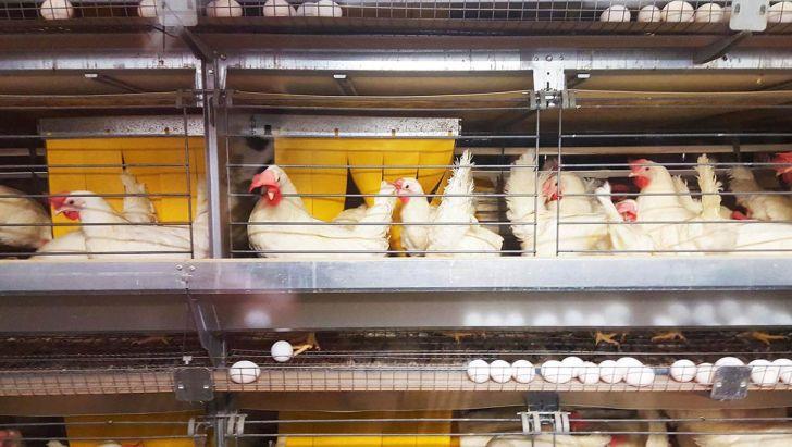 مرغداران مازندرانی دو و نیم برابر پارسال تخم مرغ تولید کردند