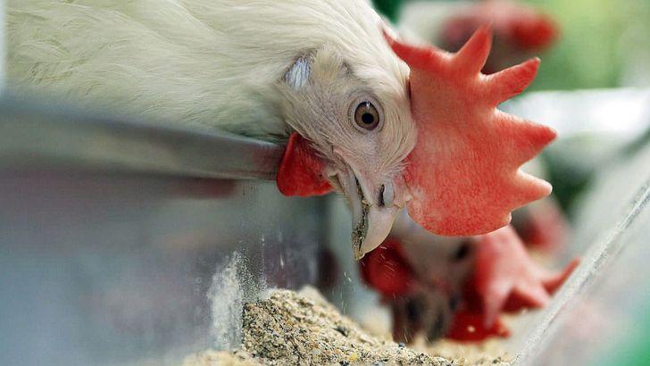 از تخصیص ارز دولتی به نهاده های دامی تا بازار سیاه دلالی در خوراک مرغ