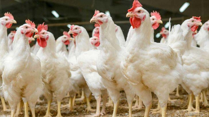کانون بحران بیماری آنفلوانزای مرغی در کشور نداریم