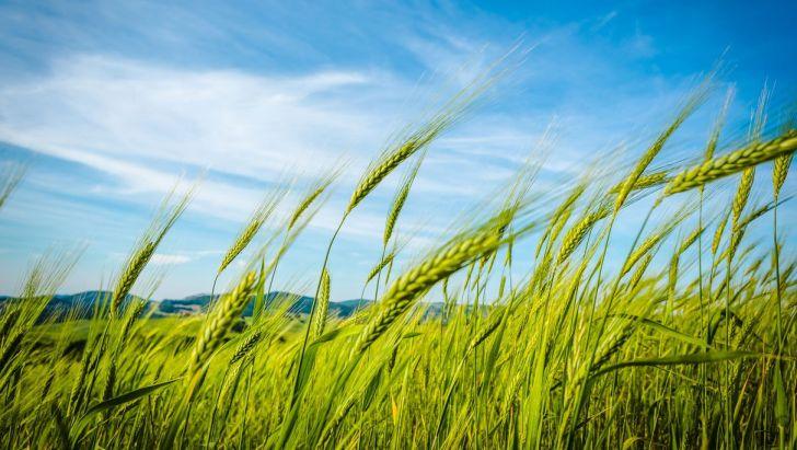 پایین بودن قیمت؛ گندم را جایگزین خوراک دام میکند