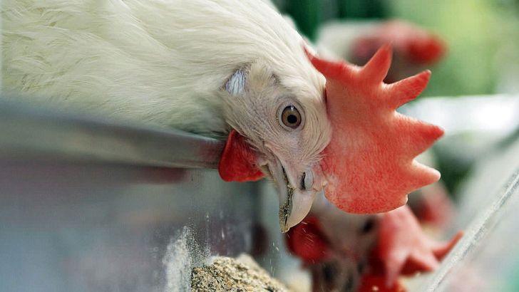 دلالان به کمبود خوراک مرغ دامن می زنند