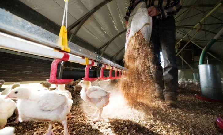 چرا مدیریت خوب بستر طیور گوشتی، عملکرد را بهبود می بخشد