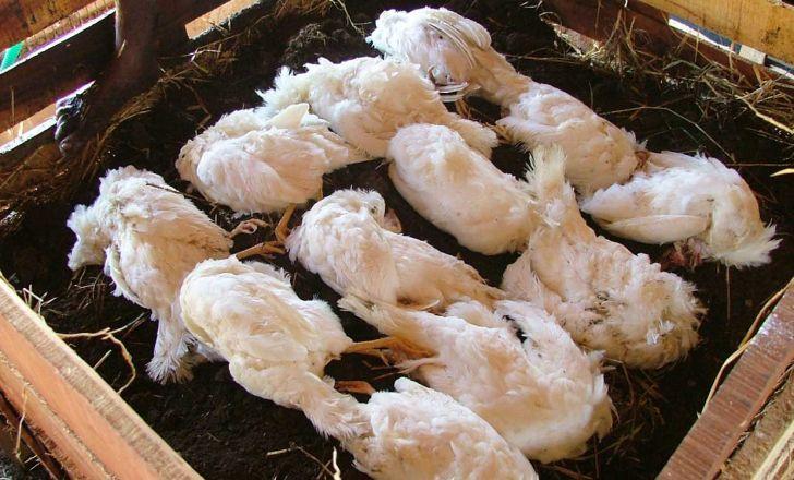 کمپوست پرندگان مرده و ضایعات آنها