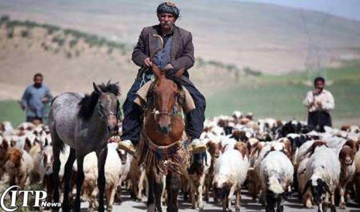 سالانه ۱۱۰۰ تن گوشت قرمز توسط عشایر گیلانغرب تولید میشود