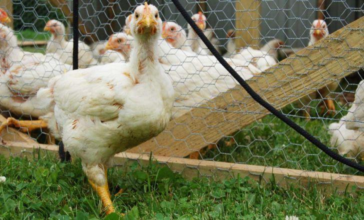 بهترین سن کشتار برای مرغ چه زمانی است؟