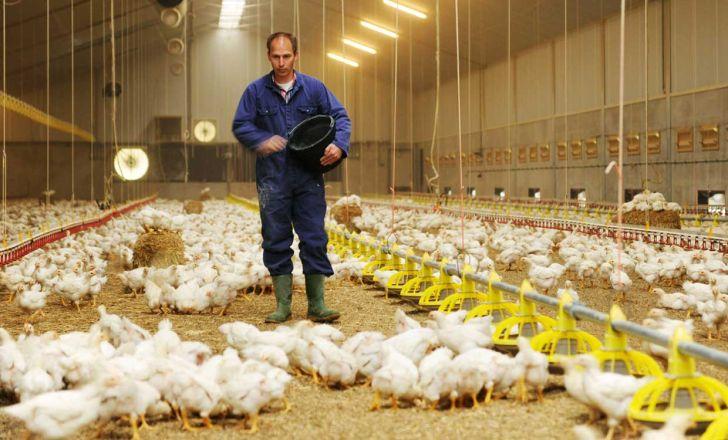 آموزش مرغداران نسبت به تولید مرغ عاری از آنتی بیوتیک
