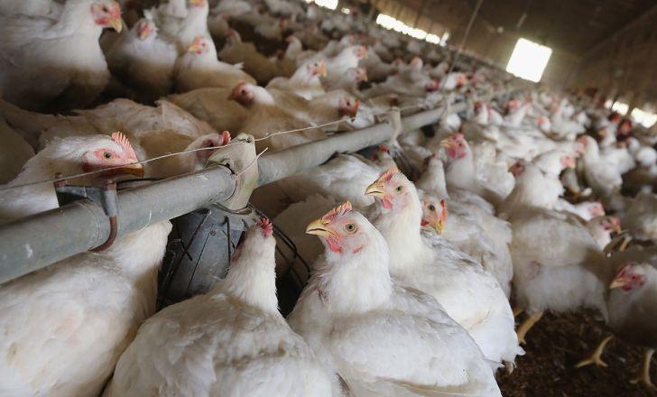 افزایش 30 درصدی تولید گوشت مرغ در چهارمحال و بختیاری