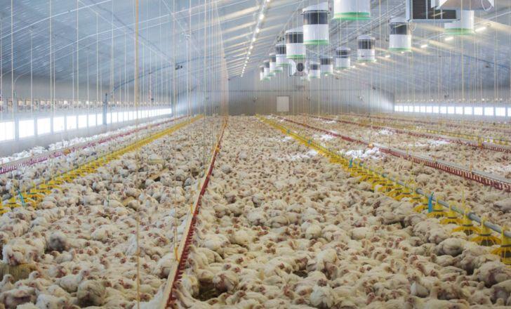 راه اندازی بزرگترین مجتمع تولید مرغ و تخم مرغ آسیا در خمین
