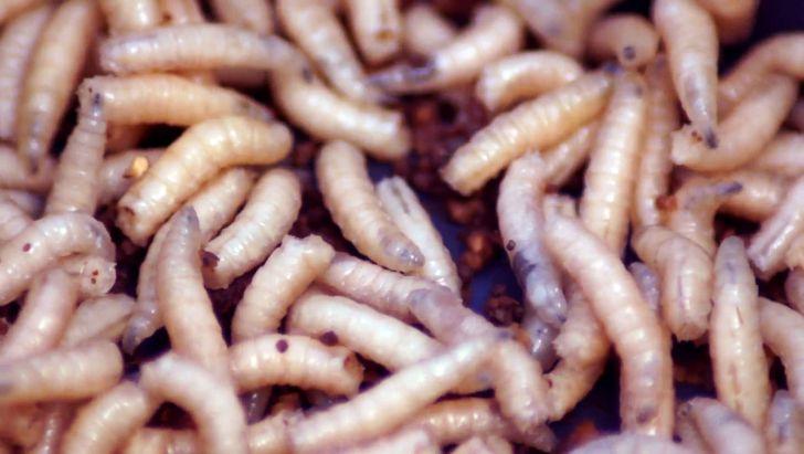 لارو حشرات، گندم های فاسد را به پول نقد تبدیل می کند