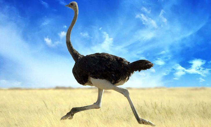 خواص بی نظیر گوشت شتر مرغ