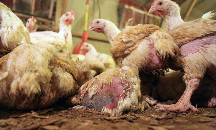 معدومسازی یک میلیون و 300 هزار قطعه مرغ برای کنترل شیوع آنفولانزا