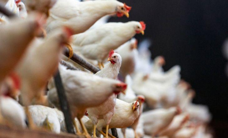 مرغداران مرغ را با کیلویی ۲ هزار تومان ضرر میفروشند