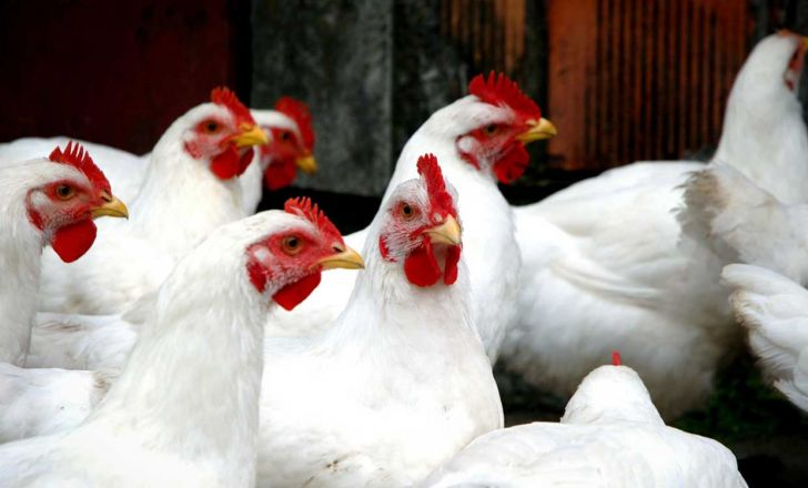 افزایش تقاضا برای صدور پروانه تولید مرغ بدون آنتیبیوتیک