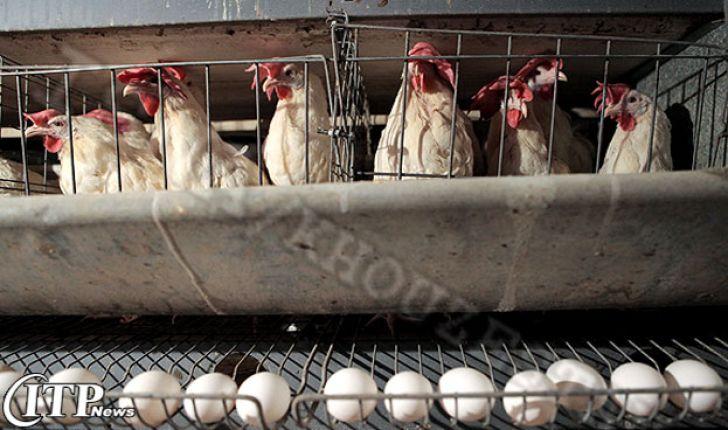 راهکار های مرغدارن هلندی به منظور بهبود تولید تخم مرغ